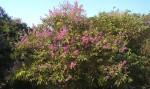 Beautiful Flowering Shrub