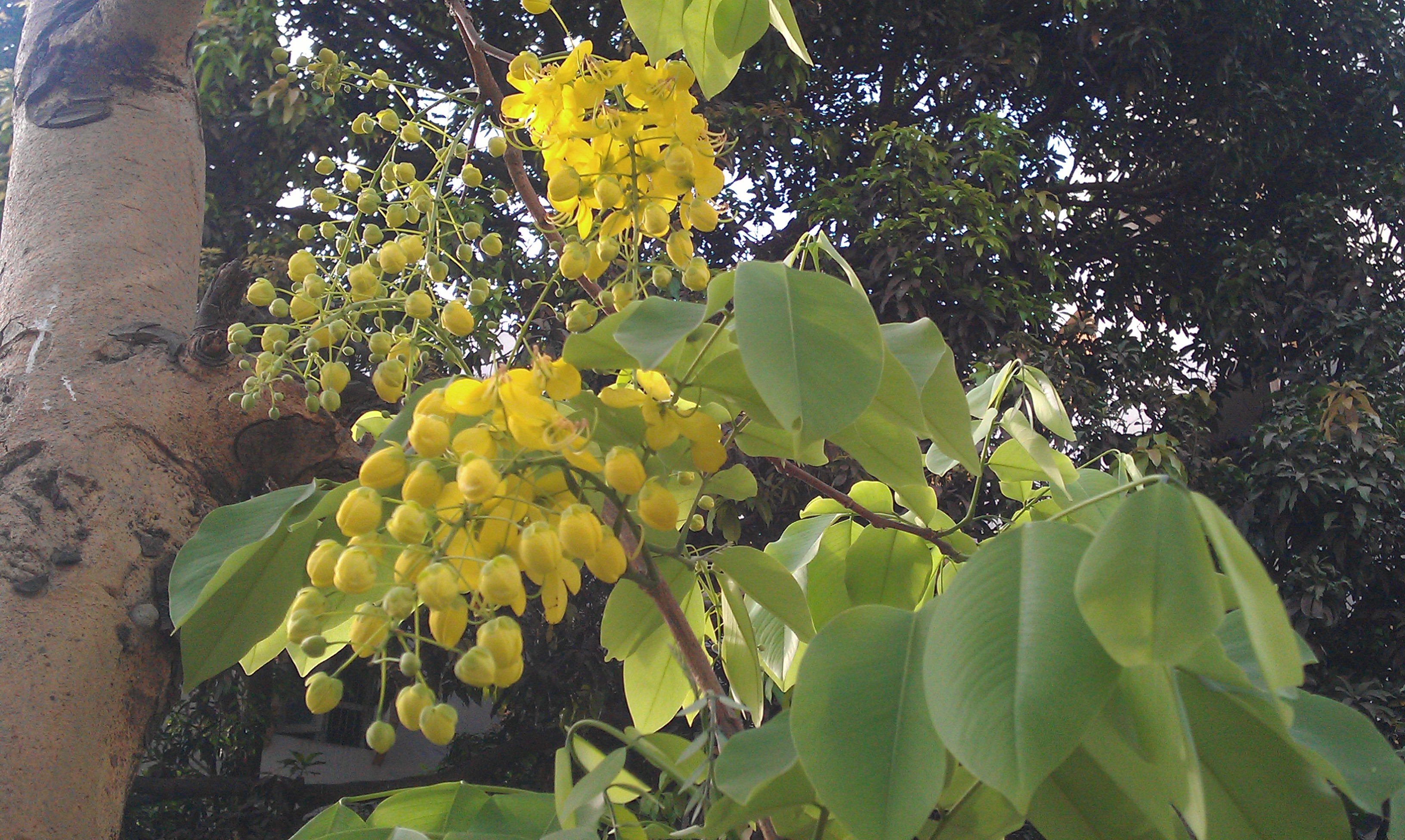 amaltas � free thoughts by ranjit singh