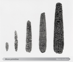 CornProgression