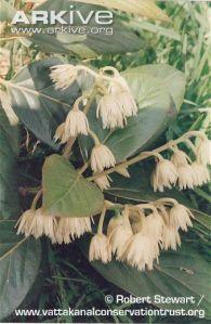 Elaeocarpus-blascoi-flowers