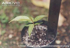 Elaeocarpus-blascoi-sapling-in-cultivation