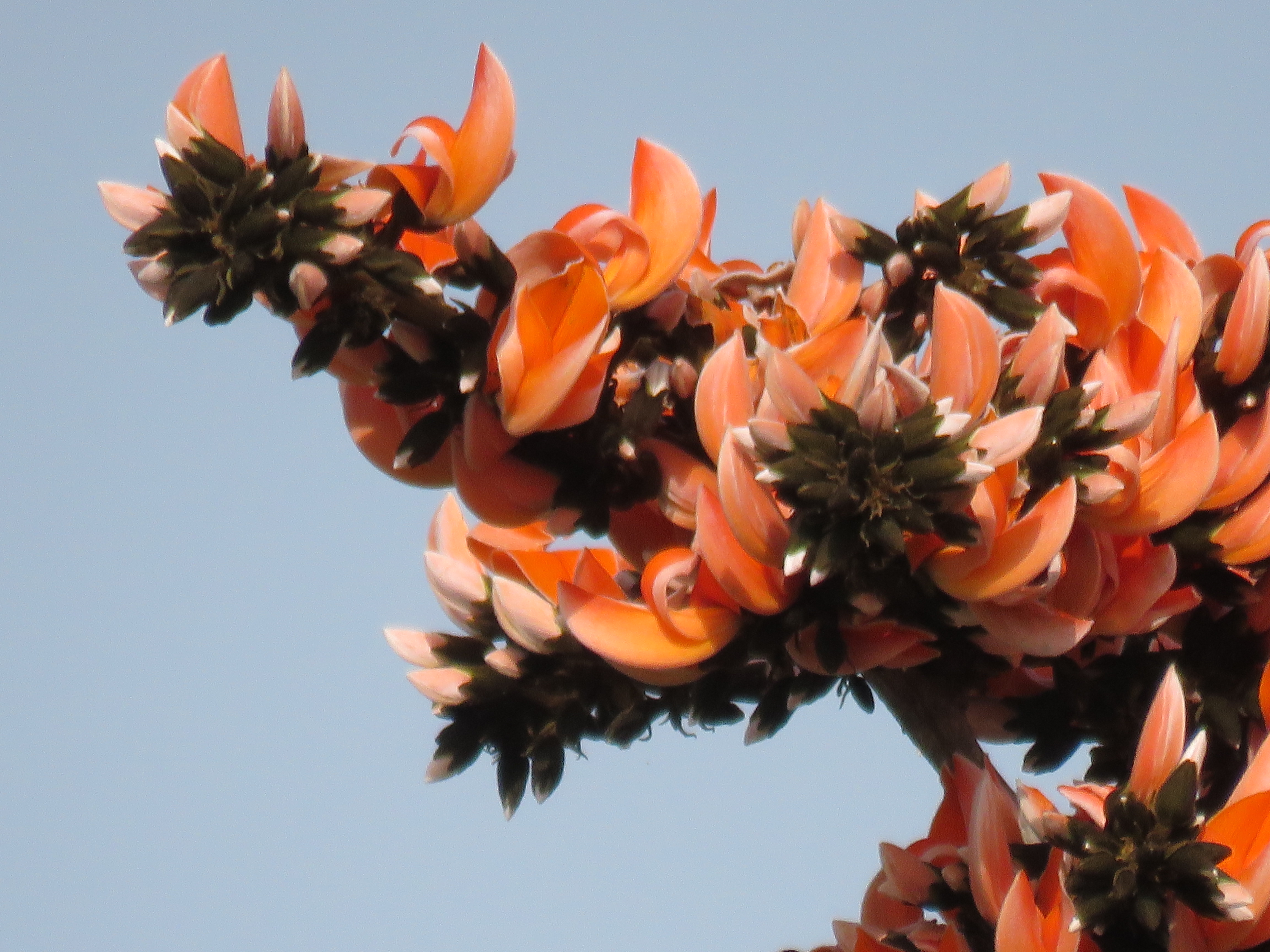Palash Flowers: The Fire of Jungle – Free Thoughts by ...Palash Flower