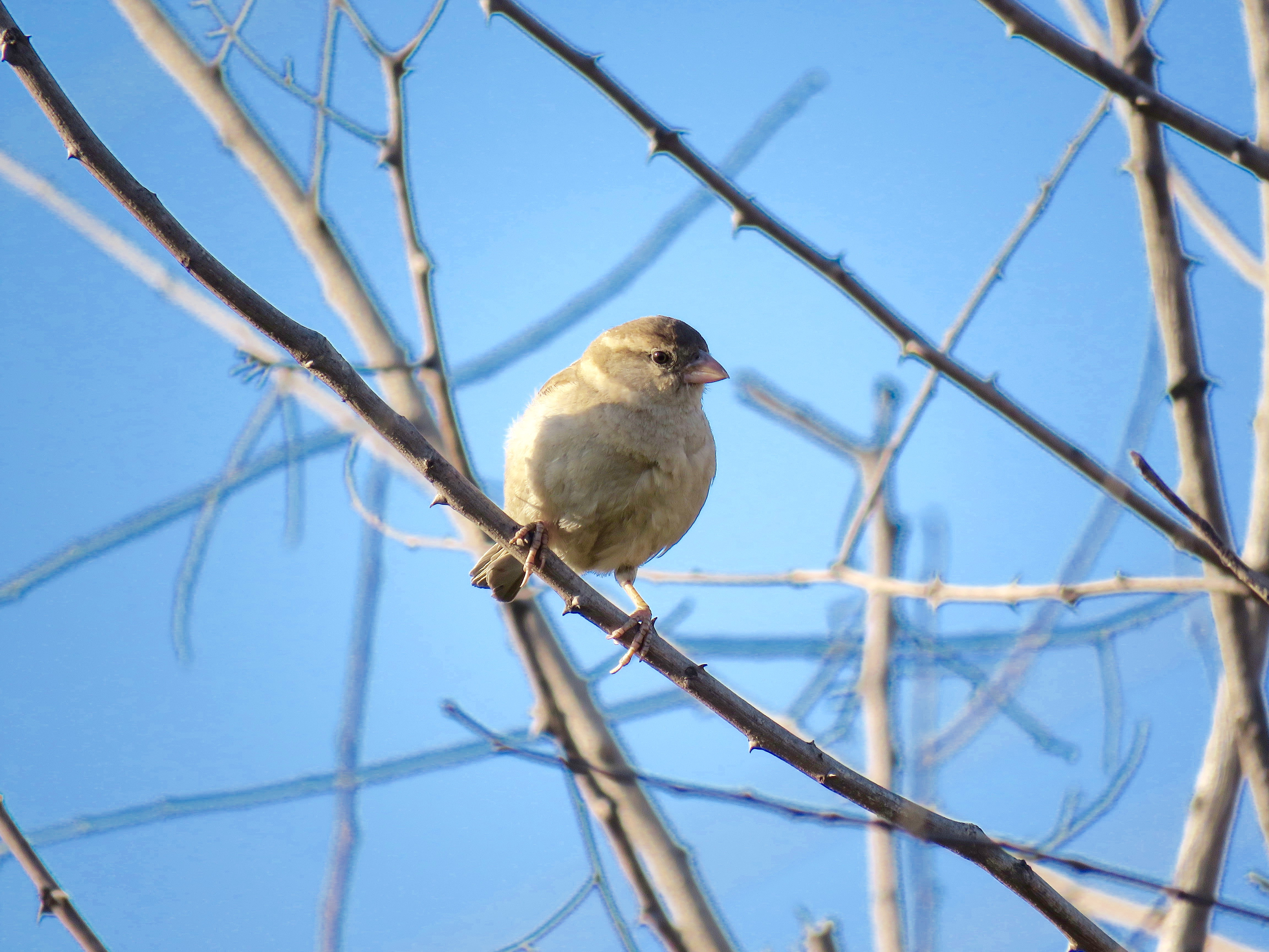 Raising Of Sparrow Pictures : Rediscovering the house sparrows – Free Thoughts by Ranjit Singh